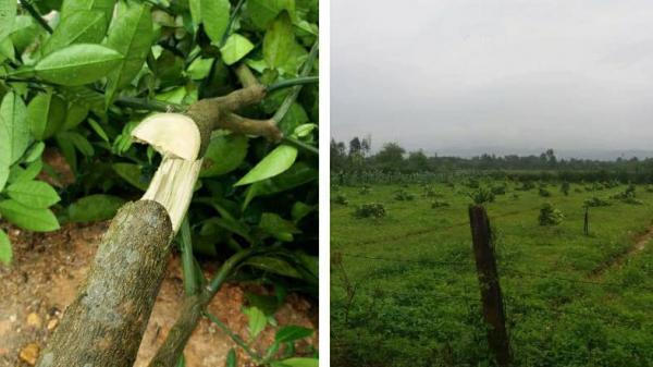 SỐC: Gần 200 cây bưởi Phúc Trạch bị chặt ngang gốc trong đêm