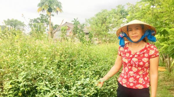 Quảng Bình: Trồng cây dại đầy gai, không ngờ thu lãi đậm