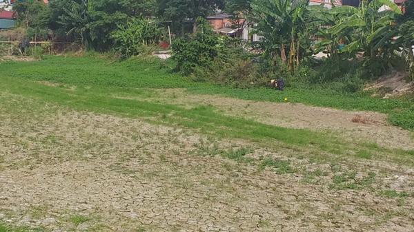 Nắng nóng ảnh hưởng đến hàng nghìn ha lúa tái sinh ở Quảng Bình