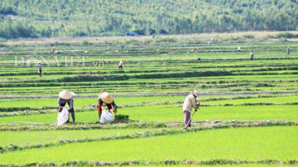 Quảng Bình: Nắng nóng kinh hoàng, nông dân vật vã ra đồng chăm lúa Hè-Thu