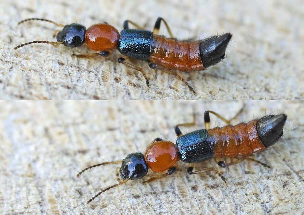 Hình ảnh cận cảnh loại kiến ba khoang. (Ảnh: Twitter)