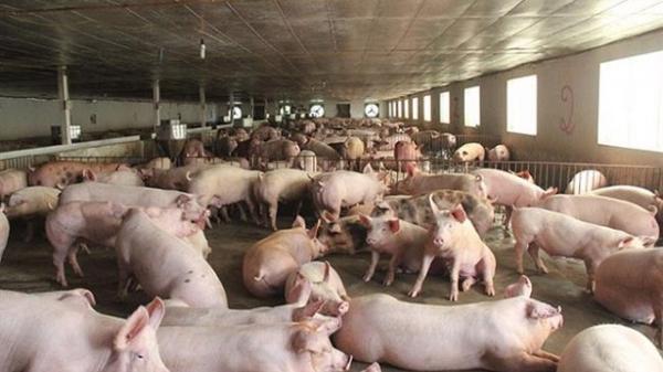 """Giá thịt lợn """"rơi tự do"""" xuống dưới 30.000 đồng/kg, rẻ như rau"""